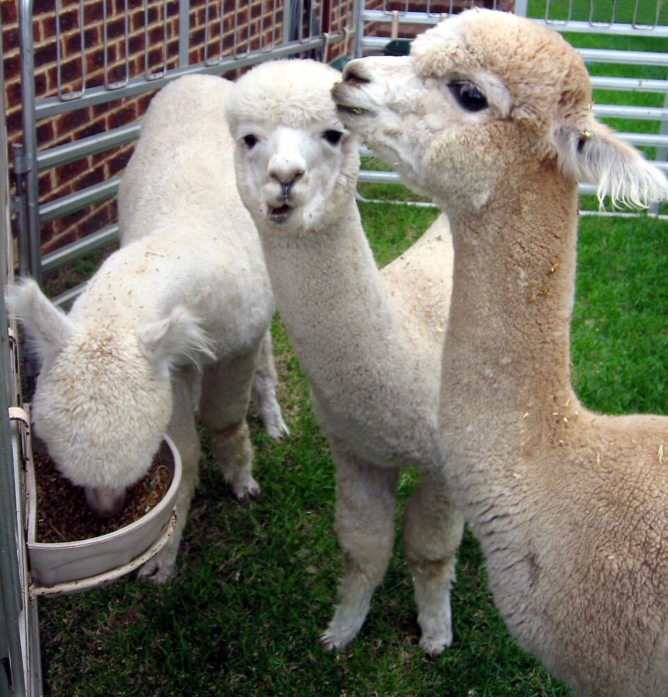 The Three Alpacas by Kylie Newton