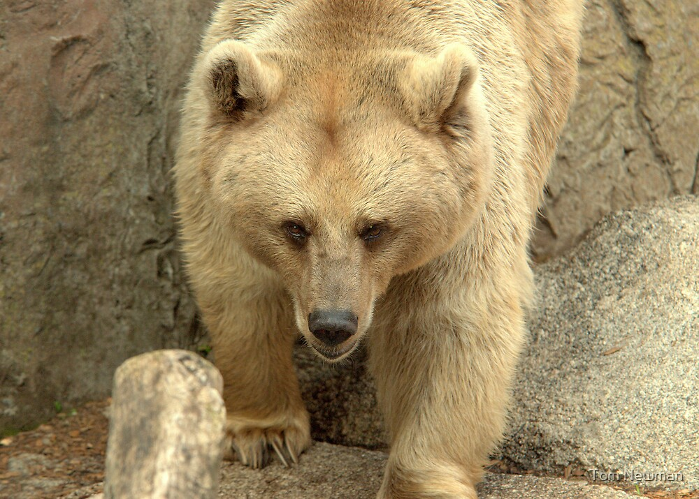 Syrian Brown Bear  IV by Tom Newman