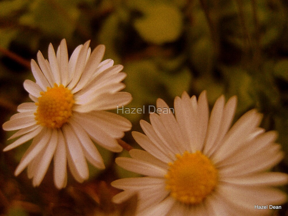 Daisy's by Hazel Dean