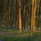 Bluebell woods by Kerstin  Inga