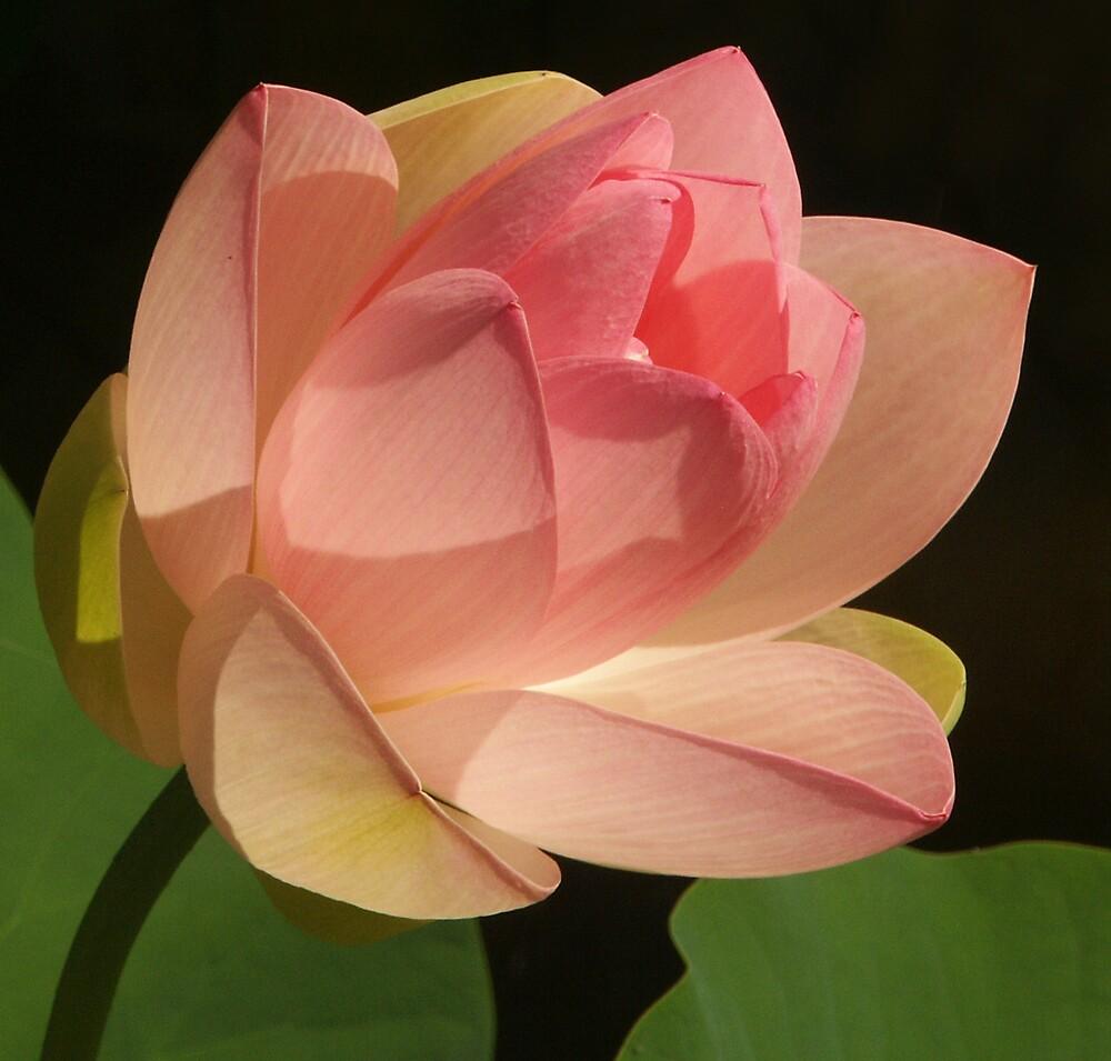 Peach Colored Lotus by Robert George