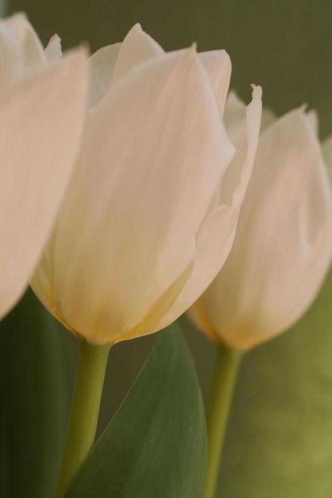 White tulips 2 by Jeff  Wilson