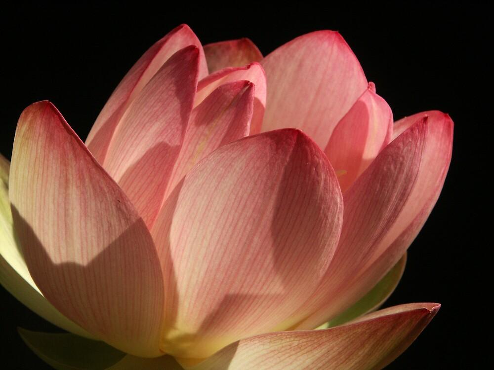Backyard Lotus by Robert George
