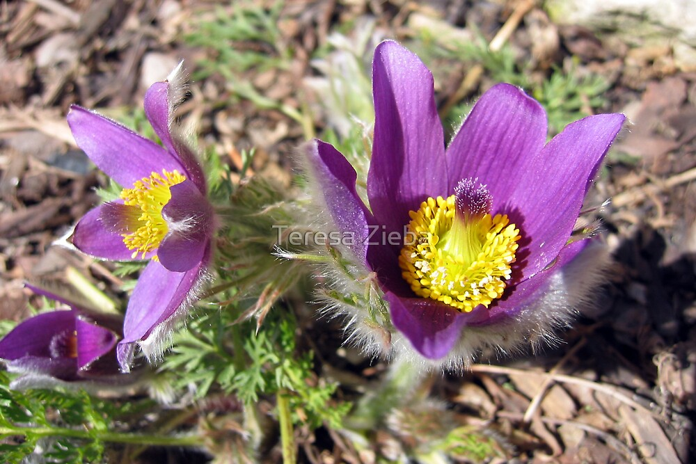 Pasque Flower by Teresa Zieba