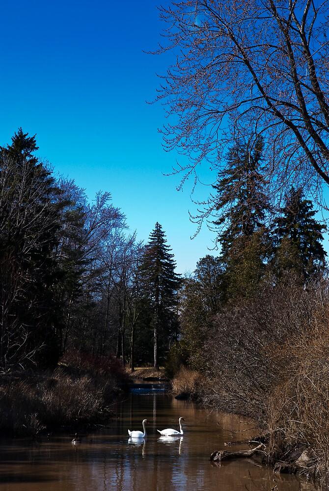 Swans on Morrison Creek East, Oakville by MarkEmmerson