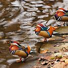Mandarin ducks on the water by renifer