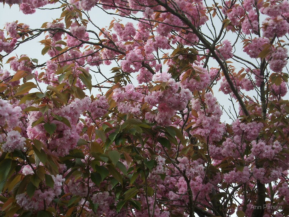 Cherry Blossom by Ann Persse