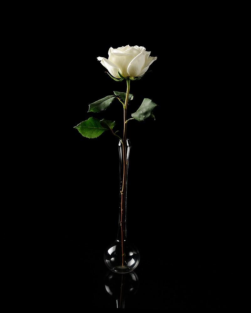 Rosa Blanca by George DeLoache