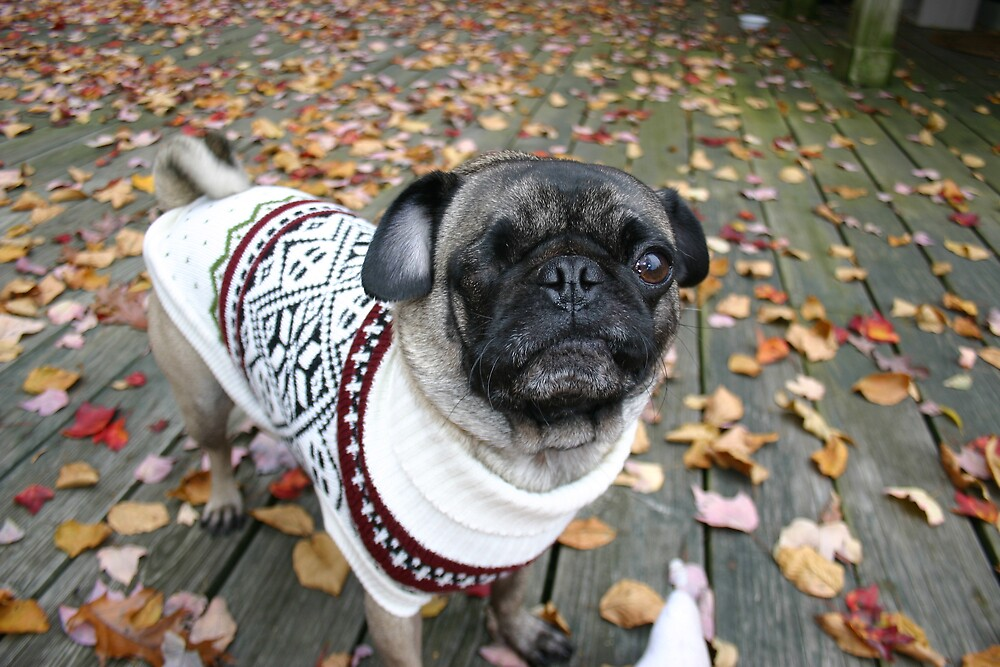 Pug on Deck with Sweater by WinZiggy