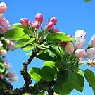 Pink Blossoms Blue by ienemien