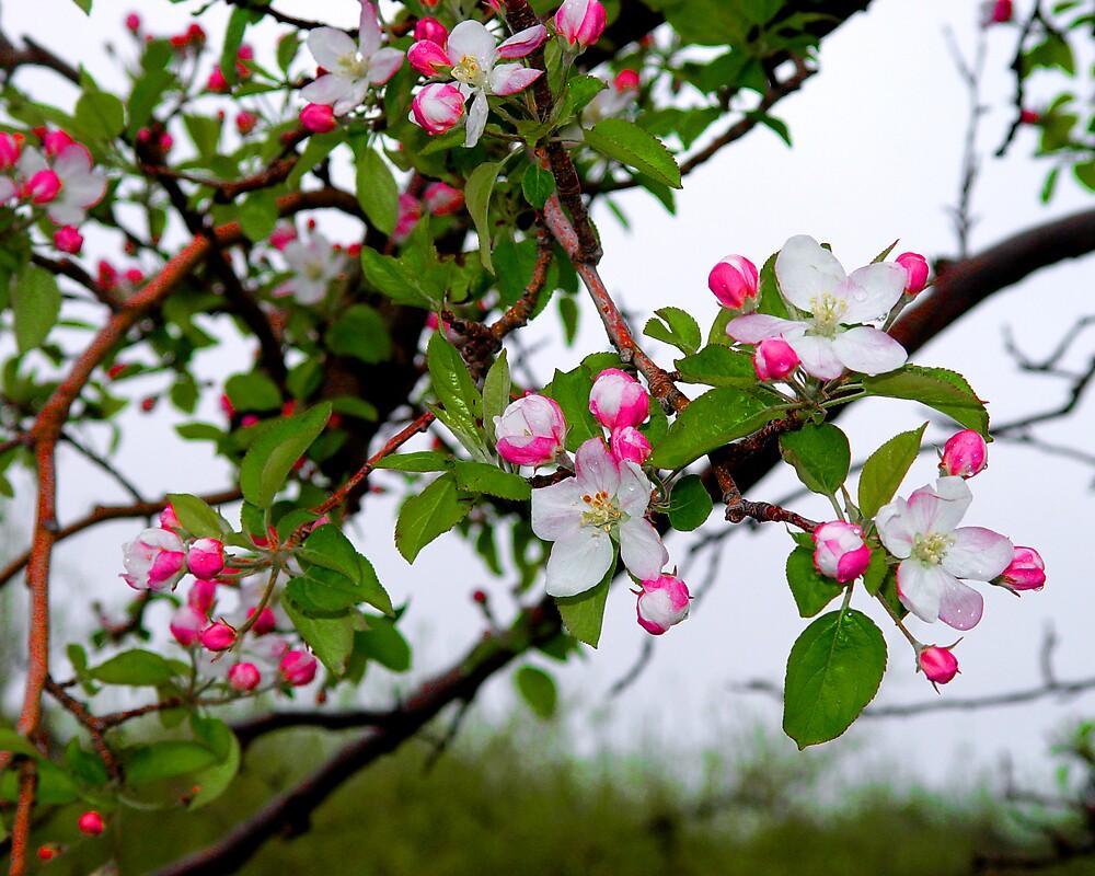 Fruit Blossoms by Dennis Burlingham