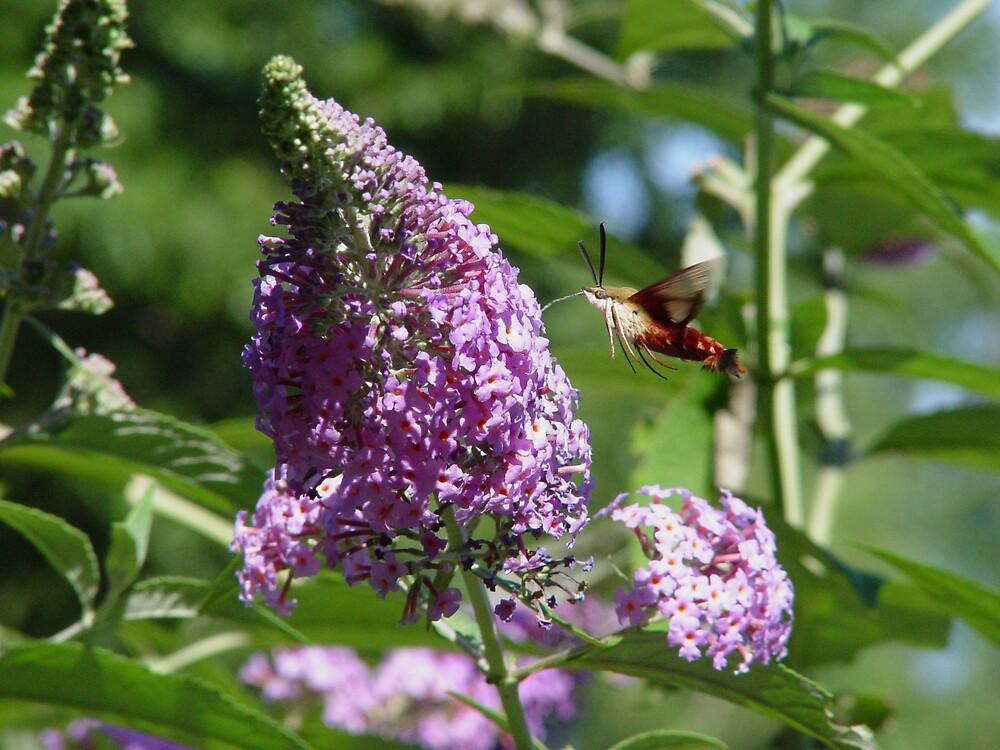 Hummingbird Moth by Dennis Burlingham