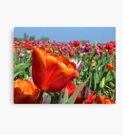 Rainbow Tulip Field Canvas Print