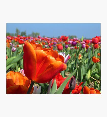 Rainbow Tulip Field Photographic Print