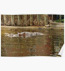 Hippopotamus reflections. Poster