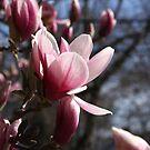 Magnolia Blossom by Judi FitzPatrick