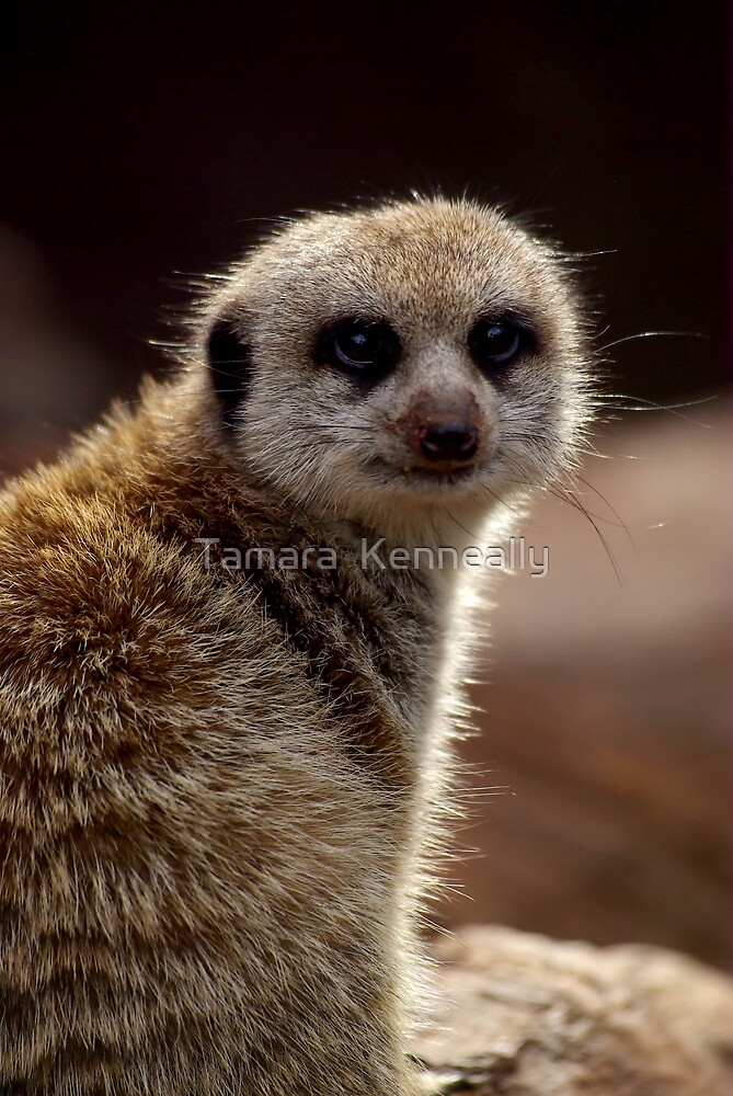 Meerkat by Tamara  Kenneally