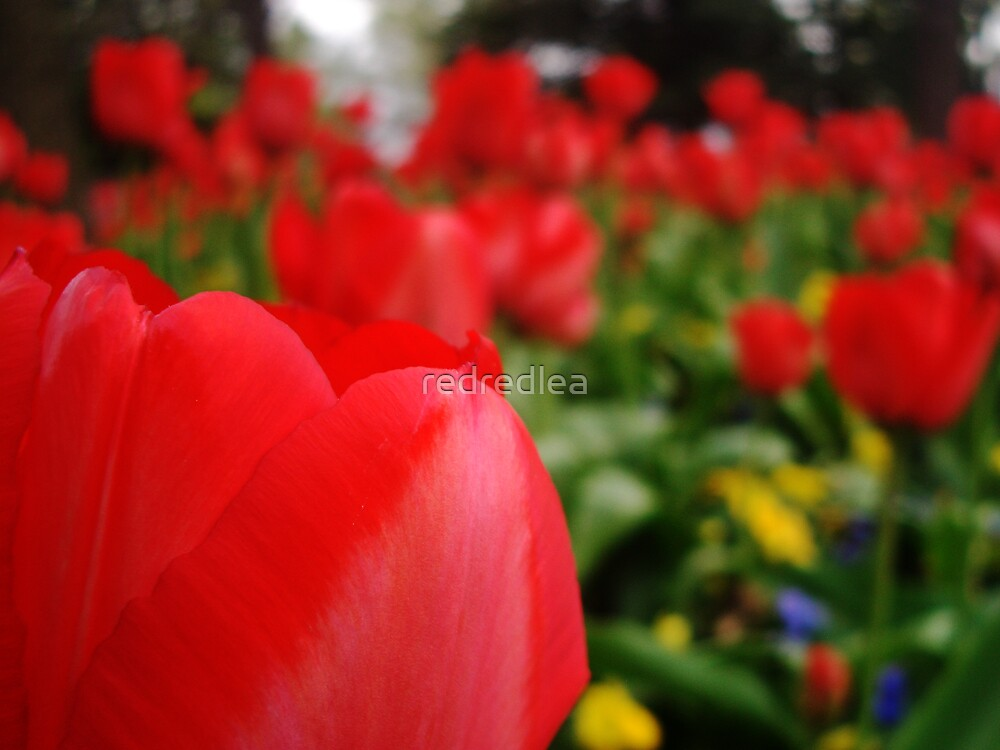 The Blur of a Tulip by redredlea