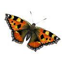 Tortoiseshell Butterfly Watercolor Painting Wildlife Artwork by Alison Langridge