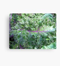 Fresh Kale  Canvas Print
