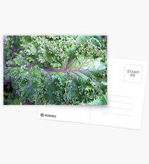 Fresh Kale  Postcards