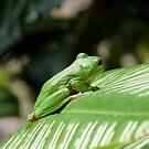 Frog by ingridrob