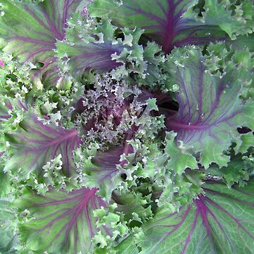 Fresh Red Kale From the Garden by engine2forlife