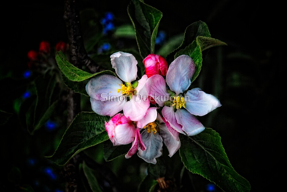 Apple Blossom by Simon Duckworth