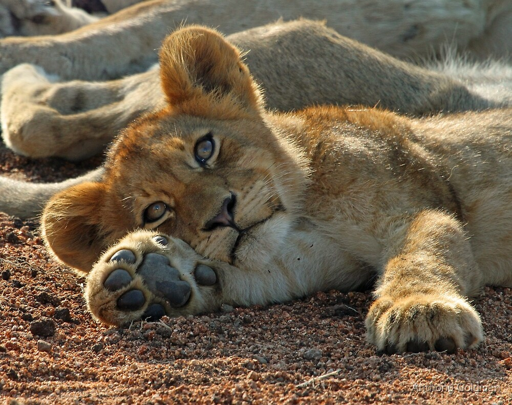 Life is good for cubs in this pride! by Anthony Goldman