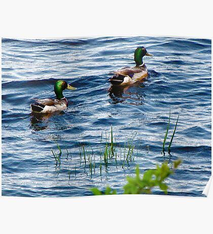 Mallards In the reeds ! Poster