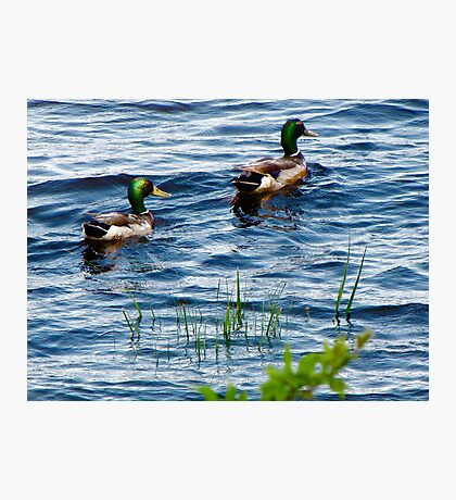 Mallards In the reeds ! Photographic Print