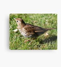 (Song) Thrush Metal Print