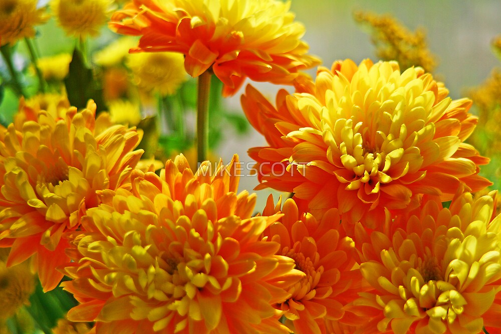 YELLOW CHRYSANTHEMUMS by MIKESCOTT