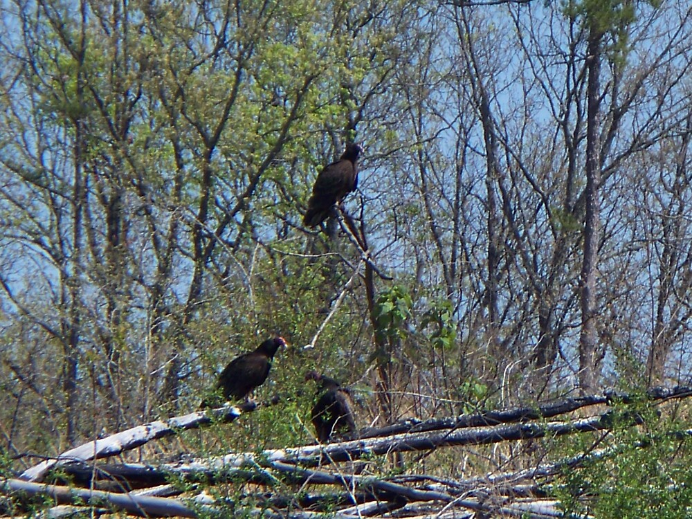 Three little BUZZARDS by ladyant