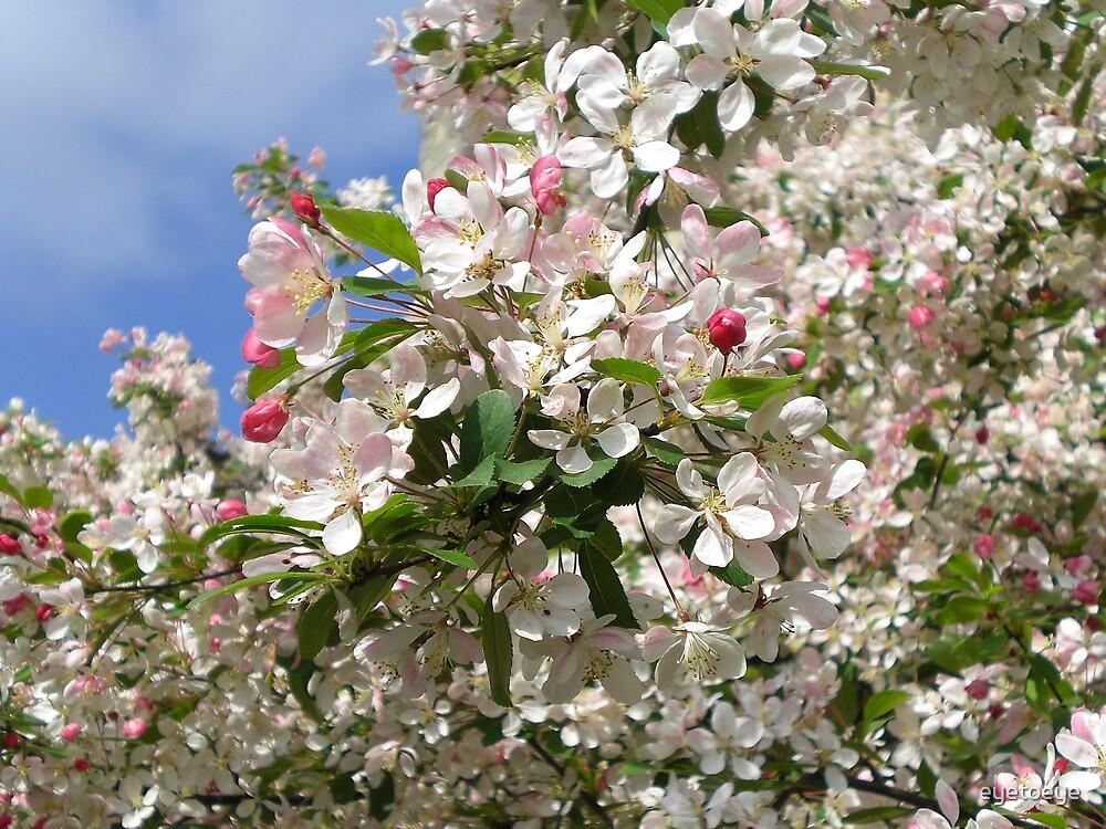 A Burst of Cherry Blossom by eyetoeye