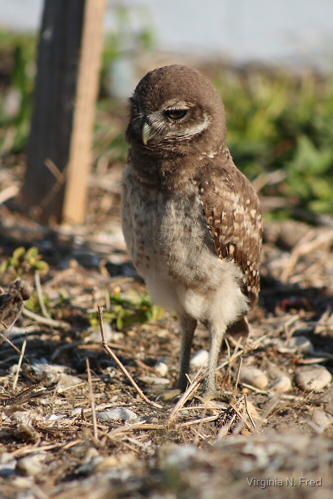 Burrowing Owl Baby #1 by Virginia N. Fred