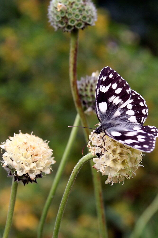 black and white butterfly on flower by alixlune