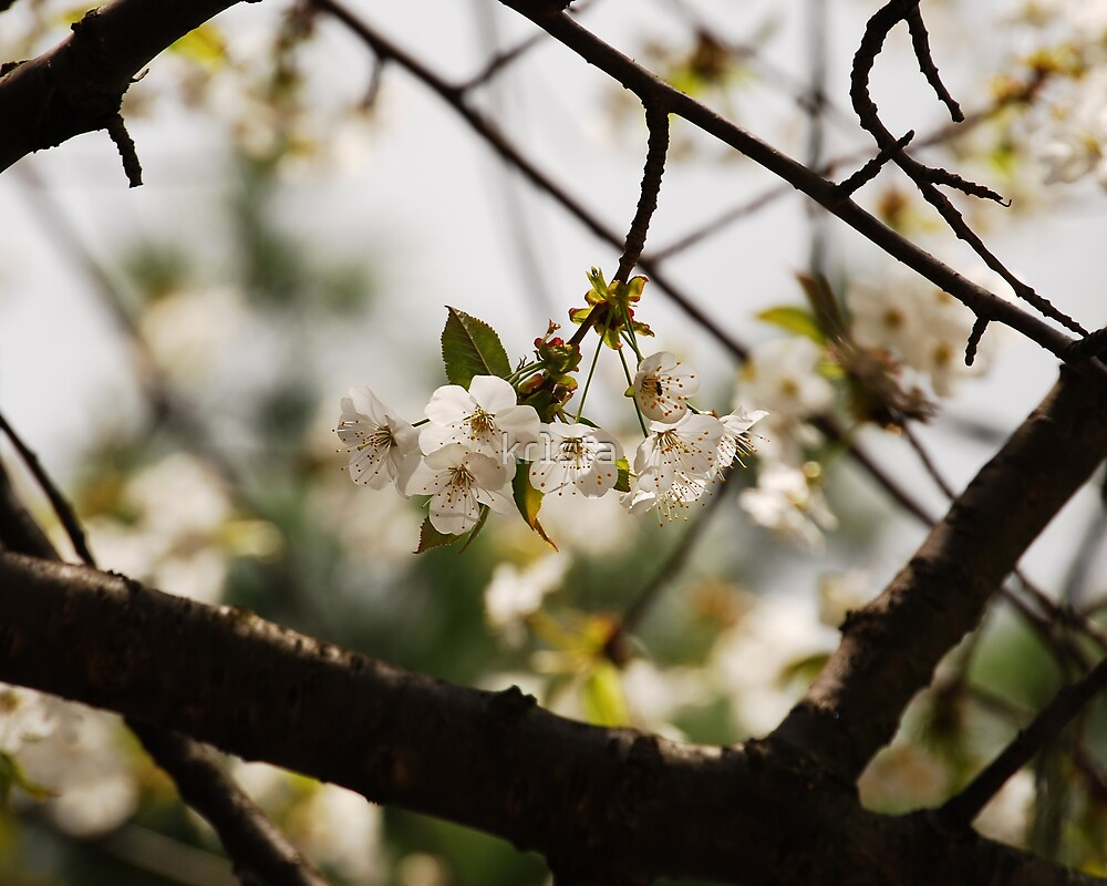 Cherry Tree Blossoms by kr1sta
