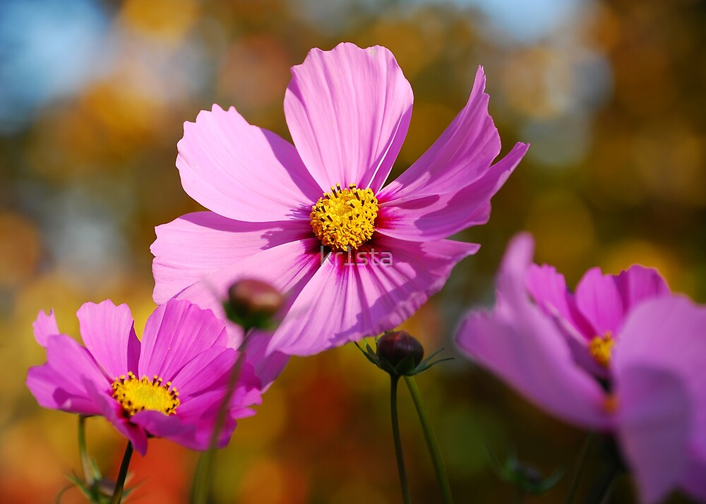 Pink Cosmos by kr1sta