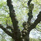 Tree Covered in Burls by Jane Neill-Hancock
