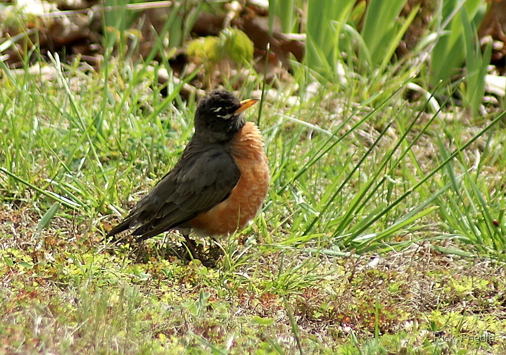 Fat Robin by Rick  Friedle