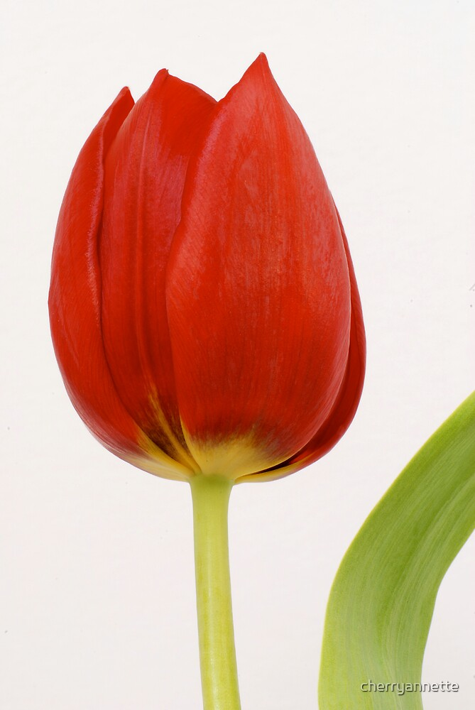 Spring tulip by cherryannette