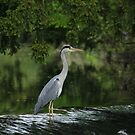 Heron in the Tolka  by Martina Fagan