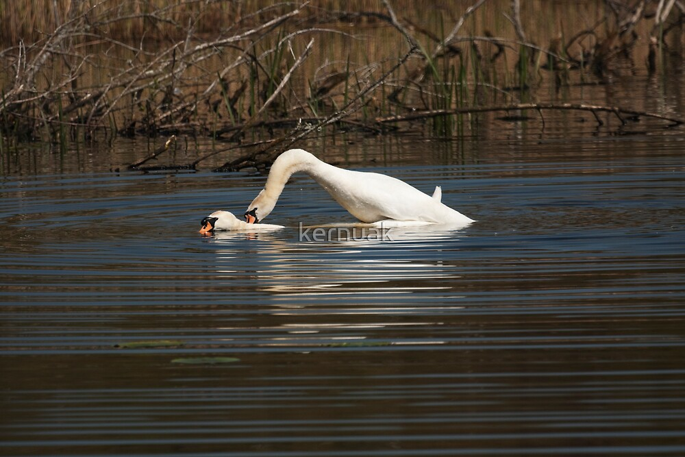 Swans Mating by kernuak