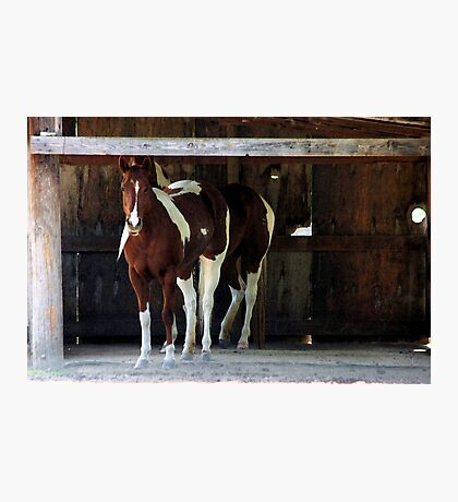 Barnyard Beauties Photographic Print