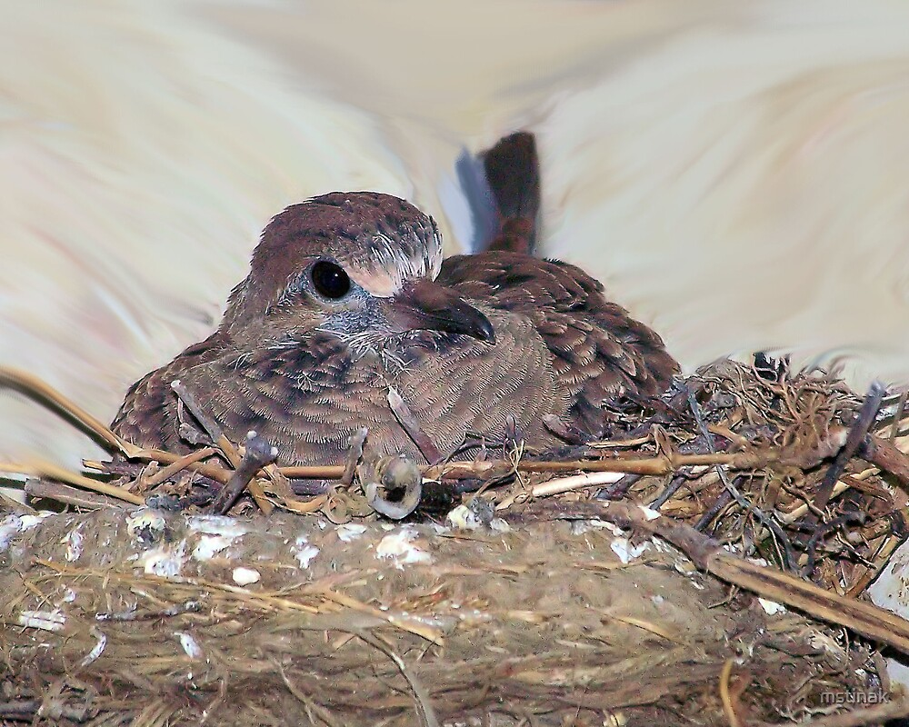 Young mourning dove in nest by mstinak