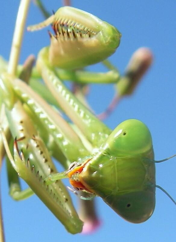 Mantis by janemartin