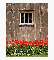 Red Tulips & Barn Photographic Print