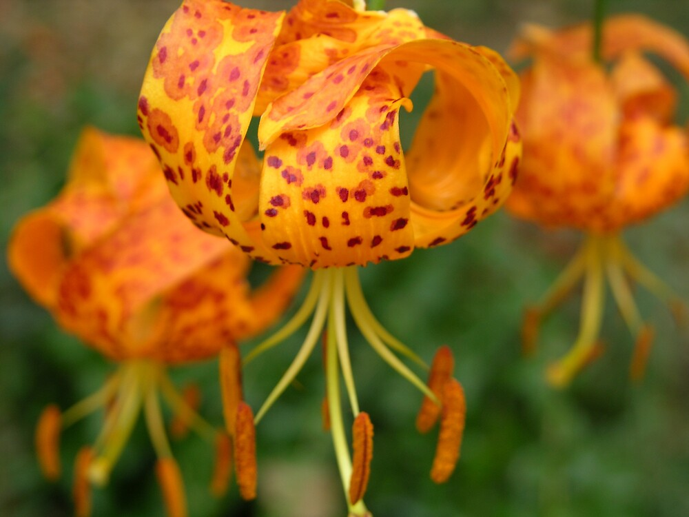 Spotted Humboldt Lily by Ken Gilliland