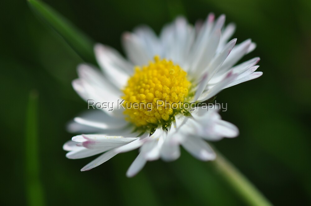 Pick more Daisies! by Rosy Kueng Photography